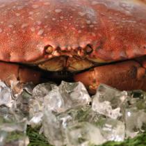 【巨無霸黃金霸王蟹】麵包蟹 超級螃蟹 每隻重800~1200G 人氣推薦【陸霸王】